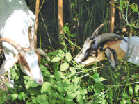 DNR enlists help of goats to clear invasive plants at Outdoor Classroom