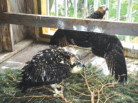Osprey restoration continues along shores of Clear Lake