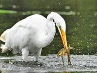 Masters of stealth: Migrating egrets Invade North Iowa