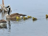 Mother Goose –  A tale of survival (and a happy ending)