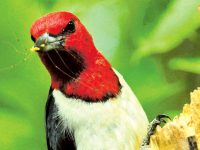 Red-headed woodpeckers provide summer entertainment