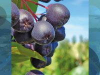 Aronia berries: Local couple grows a versatile superfruit
